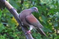 14. Pale-vented Pigeon