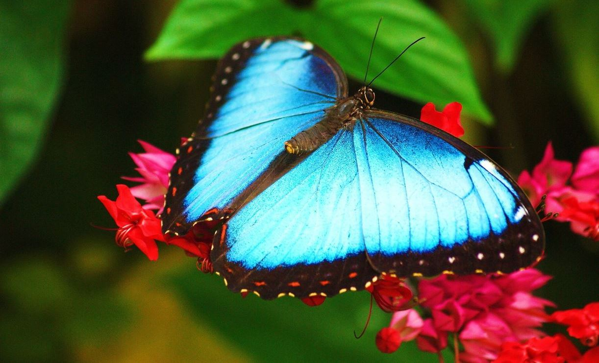 blue-morpho-butterfly_1699